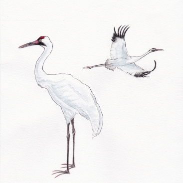 W for Whooping Crane ~ Illustrated with polychromos and watercolours